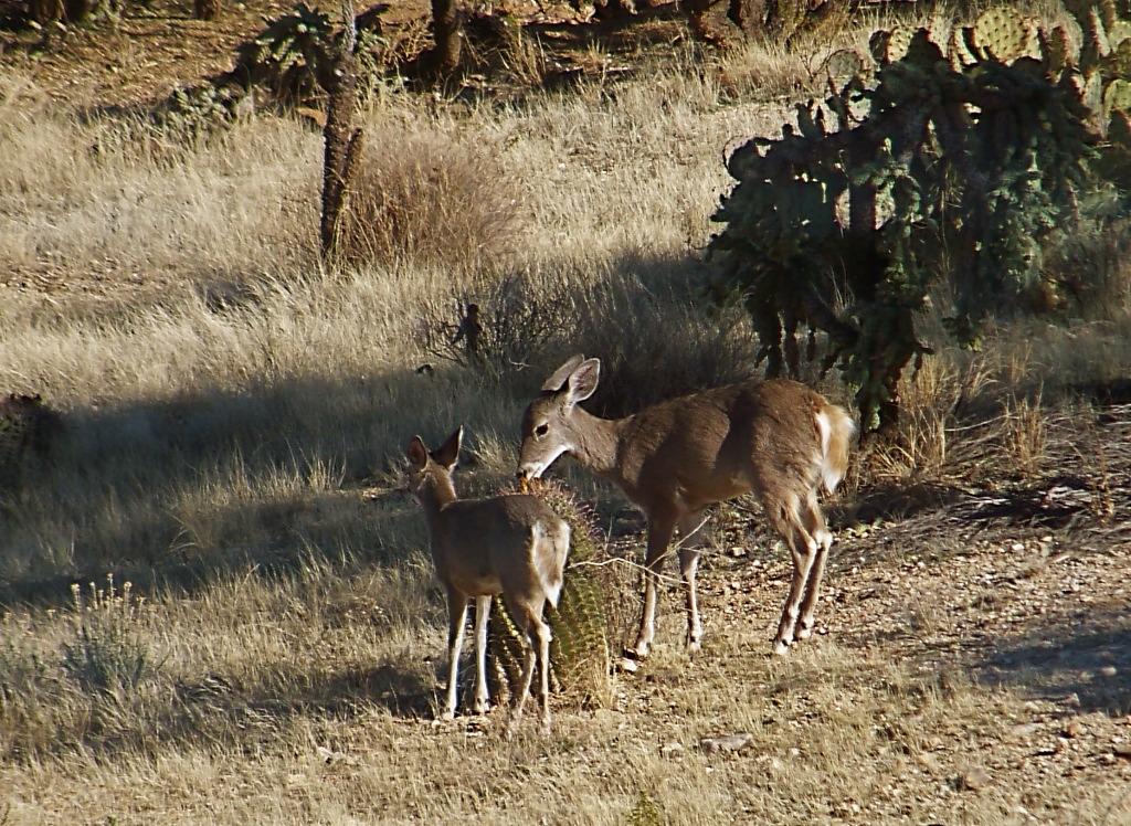 Deers from Saguaro National Park