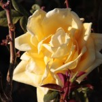 Yellow Rose in Tucson
